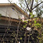 「くるめ 和の光と暮らす家」のお庭の山桜が開花してました〜!!