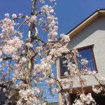 お客様に、写真で報告して頂いた、 しだれ桜、満開です!